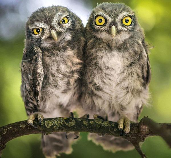 摄影师捕捉猫头鹰的表情瞬间 晨起表情逗笑全场