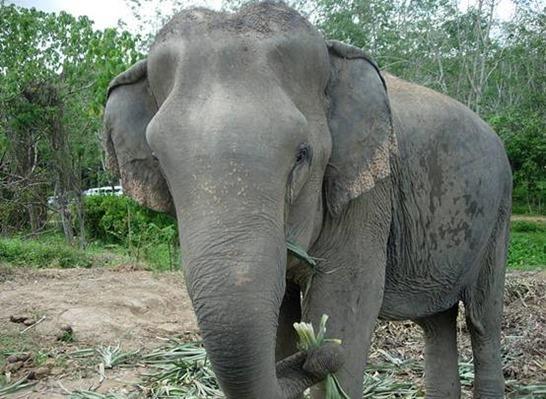 陆地上最大的动物 大象