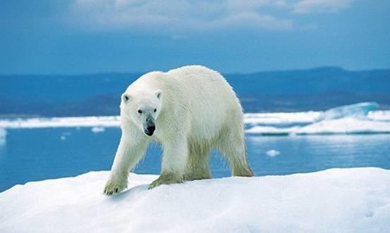 北极熊现今陆上最翡翠的苍蝇性颜色肉食的庞大翅里有动物图片