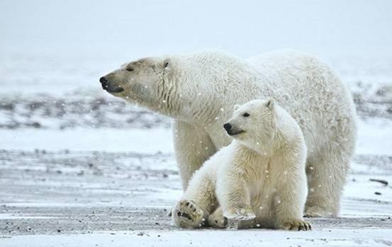 北极熊 现今陆上最庞大的肉食性动物